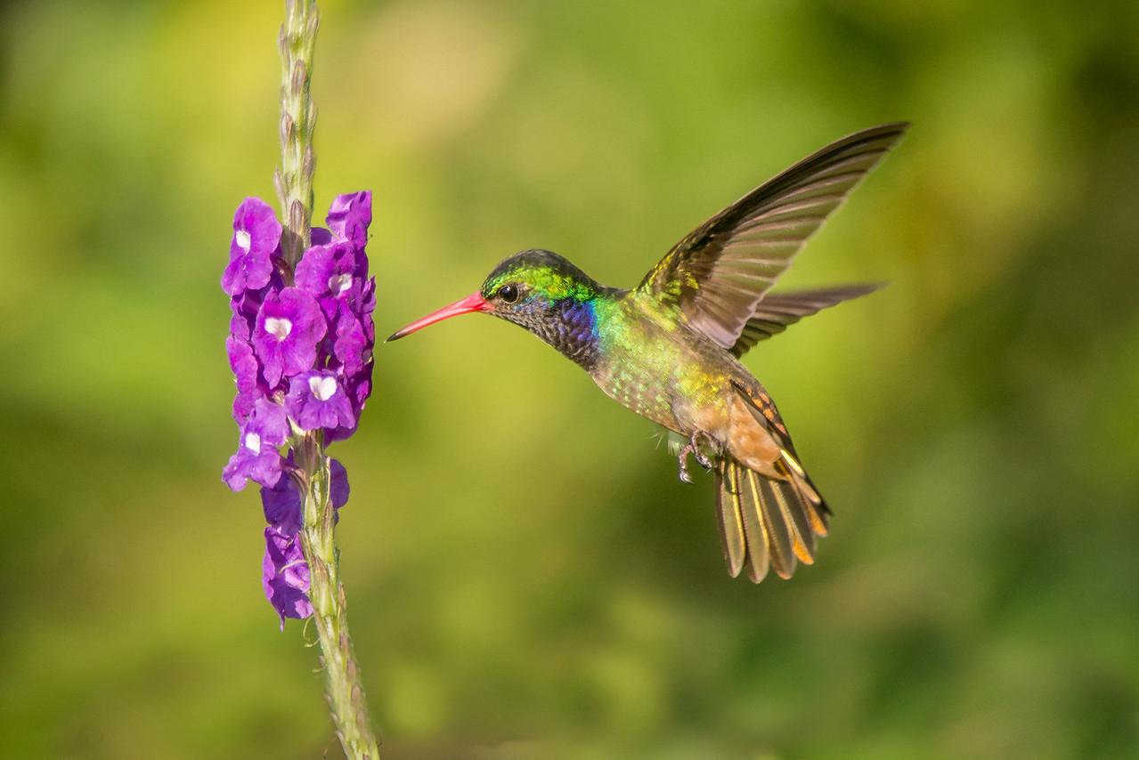 Colibri Color